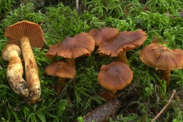 cortinarius-specios-copia95B49F7F-B4C9-E3D9-E668-868646244279.jpeg