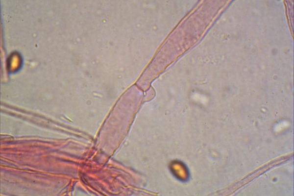 cortinarius-vernus-giunti-gaf-1000-2-copiaD9D9BB41-9ECD-B0C6-3589-7E25969E064F.jpg