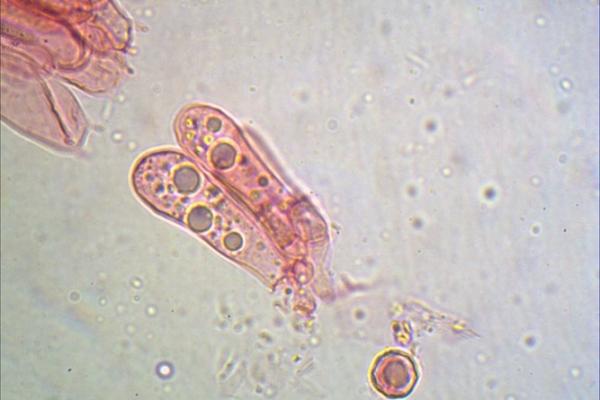 entoloma-sepium-giunti-gaf-1000-3-copiaFFAE3318-E873-2FBC-8B34-DCD9265E26BD.jpg